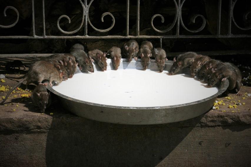 tempio dei topi