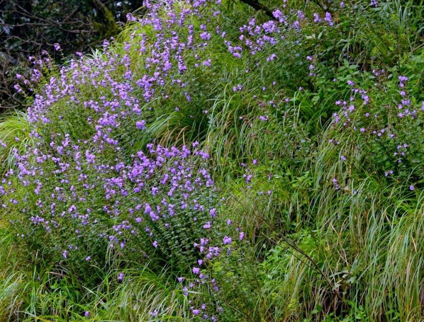Kurinji i fiori che sbocciano ogni 12 anni