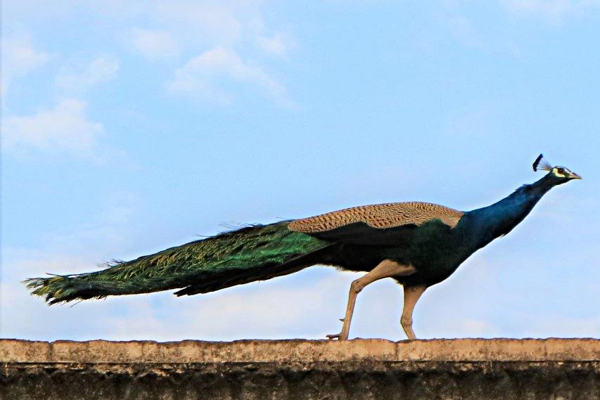 pavone uccello nazionale dell'India